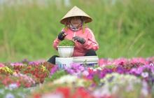 """Cánh đồng hoa ở Sài Gòn khoe sắc rực rỡ chào Tết, nhà vườn tất bật """"ăn ngủ"""" cùng hoa"""