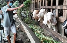 Cả gia đình bị mắc Covid-19, đàn dê được xóm làng chăm sóc