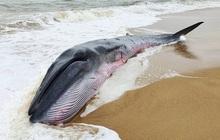 Xót xa hình ảnh cá voi khổng lồ mắc cạn nằm yếu ớt bên bờ biển Huế, người dân và bộ đội nỗ lực giải cứu