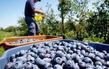 5 loại trái cây chứa đầy ký sinh trùng, không vệ sinh thật kỹ chính là rước mầm bệnh vào thân, không đau bụng thì cũng ngộ độc
