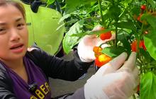 Khách qua nhà Quỳnh Trần JP tá hoả vì thấy trồng đầy loại ớt đắt nhất thế giới, giá sương sương cỡ nửa tỷ/kg thôi!