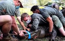 """Clip: 12 người đàn ông hợp sức khống chế con cá sấu """"cuồng sex"""" để sơ tán nó đi chỗ khác"""