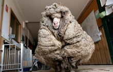 """Cụ cừu hoang có bộ lông to sụ nặng 35kg như khoác chăn bông khiến nhiều người hiếu kỳ đã """"lột xác"""" ngoạn mục với vẻ ngoài mới"""