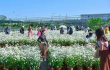 Ảnh: Vườn cúc họa mi tuyệt đẹp, mở cửa miễn phí ở Đà Nẵng thu hút hàng trăm người kéo đến