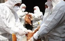 WHO khuyến cáo Việt Nam cần đề cao cảnh giác nhiễm cúm A (H5N8) từ gia cầm sang người