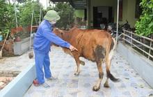 """Trâu bò ở Nghệ An và Hà Tĩnh xuất hiện bệnh """"lạ"""" hàng loạt, nổi u cục sần sùi trên toàn thân"""