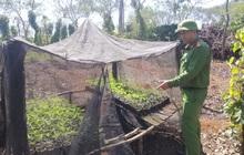 Hai anh em trồng hơn 1.500 cây cần sa ở Tây Nguyên