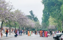 Hà Nội chiều Chủ nhật, dân tình rộn ràng chụp ảnh đông nghịt trên con đường hoa ban tím