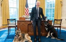 """Chó cưng của Tổng thống Joe Biden bị """"đuổi"""" về quê vì cắn mật vụ Nhà Trắng"""