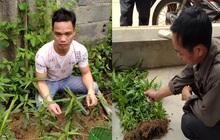 Nam Định: Xử lý 3 đối tượng trồng cần sa trái phép để... ngâm rượu và nuôi gà chọi