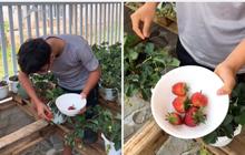 """Sững sờ trước vườn dâu nhà trồng cực kỳ """"mát tay"""" của cặp đôi nọ, cứ 2 ngày là lại có quả mới để ăn"""