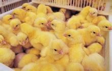 Nước Mỹ treo giải thưởng gấp 5 lần Nobel cho ai nghĩ ra cách cứu sống 7 tỷ con gà trống mỗi năm