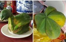 """Trái đu đủ có số kiếp làm một bông hoa khiến gia chủ không tin vào mắt mình, đúng là loại quả thích """"biến hình"""" nhất Việt Nam"""