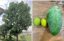 """Mua cây xoài giá 7 triệu về nhà trồng, tới lúc thu hoạch, cô gái """"méo mặt"""" vì toàn được quả size """"thiếu nhi"""": Nhìn mãi chẳng biết đây là xoài gì?"""