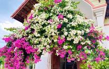 Cư dân mạng rầm rộ khoe giàn hoa giấy trước nhà đẹp rung động lòng người, ai đi qua cũng phải ngước nhìn