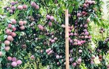 """Anh chàng khoe cây mận """"huyền thoại"""" của nhà trồng được khiến dân mạng khóc thét: Sai trĩu quả to bự, suýt gãy cả cành!"""