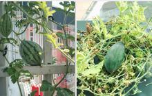 Tự trồng dưa hấu ngoài ban công kí túc xá, tới ngày xẻ ra ăn, cậu sinh viên cực bất ngờ vì thành quả bên trong