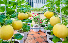Cô gái phù phép sân thượng thành vườn dưa sai trĩu quả, quả nào quả nấy múp míp thấy mê