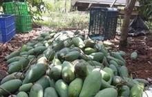 """Nông sản rớt giá, nông dân miền Tây """"khóc thét"""" vì giá xoài, mít chỉ còn 2.000-3.000 đồng/kg"""