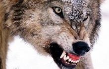 """Chó sói tấn công diễn viên trên sân khấu ở Trung Quốc khiến người xem """"lạnh sống lưng"""""""