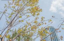Hà Nội: Hàng phong lá đỏ được di dời trong đêm, nhường chỗ cho cây bàng lá nhỏ trong thời gian tới