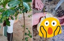 """Cô gái khoe cây mít Thái nhà trồng ra quả cỡ """"bự"""", nhìn kích thước và số múi thì ai cũng ngỡ ngàng"""