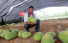 """Cây dưa hấu siêu mắn chưa từng thấy trên thế giới: """"Đẻ sòn sòn"""" 131 quả/vụ, lá chẳng thấy đâu mà trái sum sê"""