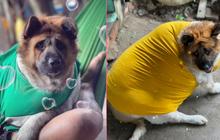 Chú chó 8 tháng nặng 45kg hút 5 triệu view trên TikTok: Người thấy cưng, người kêu giảm cân gấp thôi con ơi!