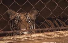 Vụ 17 con hổ ở Nghệ An: Hàng xóm bất ngờ khi sát nhà là nơi nuôi thú dữ