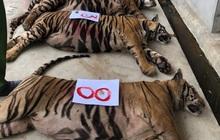 Vụ nuôi nhốt 17 con hổ trong nhà như nuôi heo: Chủ nhà xây tầng hầm rộng cả trăm mét để tránh bị phát hiện