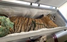 Giữ giúp con hổ nặng 160kg, chủ nhà bị công an khởi tố