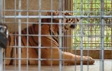 9 con hổ ở Nghệ An còn sống sau vụ giải cứu hiện ra sao?