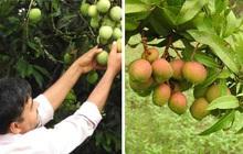 Xoài Ấn Độ tiến vua siêu hiếm: Trông như quả táo, vị như quả chuối, duy nhất một nơi trên thế giới trồng được