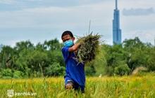 Thất nghiệp suốt 3 tháng do dịch Covid-19, nhóm công nhân mắc kẹt ở Sài Gòn ra đồng gặt lúa thuê, bắt cá mưu sinh