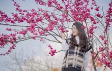 Choáng ngợp anh đào Nhật Bản, đào rừng Fansipan nở rộ đẹp rực rỡ