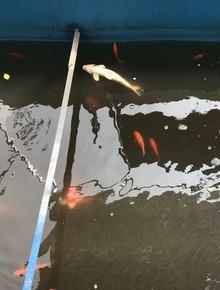 Cá Koi chết sau 2 ngày được thả xuống sông Tô Lịch, bảo vệ túc trực ngày đêm