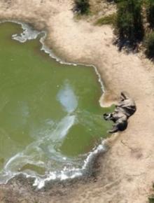 Hàng trăm con voi gục chết bí ẩn, thảm họa bảo tồn chưa từng thấy khiến khoa học hoảng loạn không hiểu tại sao