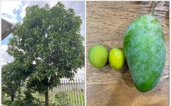 """Mua cây xoài giá 7 triệu về nhà trồng, tới lúc thu hoạch, cô gái """"méo mặt"""" vì toàn được quả size """"thiếu nhi"""": Nhìn mãi chẳng biết đây là xoài g&"""