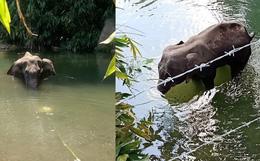 Ăn nhầm trái dứa bị dân làng nhét thuốc nổ bên trong, voi mẹ mang thai chết đứng tức tưởi dưới sông