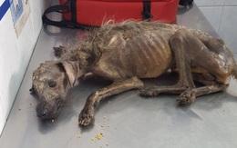"""Chú chó lang thang, gầy gò nhìn như bộ xương khô từng khiến dân mạng xót xa đã có màn """"lột xác"""" ngoạn mục đến ngỡ ngàng"""