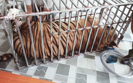Video: Cận cảnh chuồng trại nuôi nhốt 17 con hổ lớn vừa bị công an triệt phá