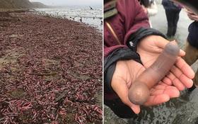 """Phát hiện hàng ngàn con """"cá dương vật"""" ngoe nguẩy trên bờ biển tại Mỹ - Chuyện gì đã xảy ra vậy?"""