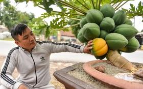 Ảnh: Vườn đu đủ bonsai độc, lạ, mỗi cây giá bạc triệu hút khách mua chơi Tết