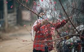 Ảnh: Trời lạnh sương mờ, làng đào Nhật Tân khoe sắc, đúng là Tết đang đến rất gần rồi!