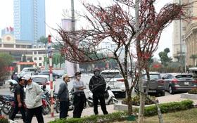 """Hà Nội: Những cành đào rừng Sơn La được dán tem đầu tiên """"rủng rỉnh"""" xuống phố chờ khách mua về chơi Tết"""