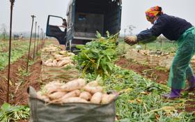 Ảnh: Nông dân Mê Linh nuốt nước mắt, nhổ bỏ hàng trăm tấn củ cải vì không tiêu thụ được