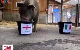 Lợn dự đoán tuyển Anh vô địch Euro 2020