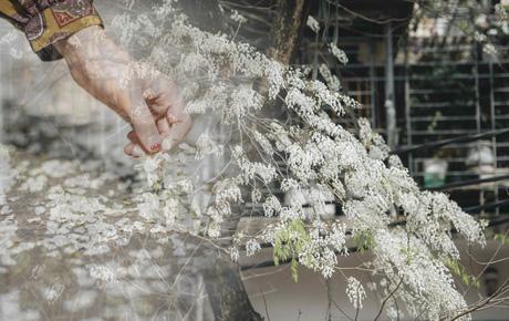 """Có một mùa hoa """"độc quyền"""" Hà Nội, những ngày này phủ trắng khắp nơi như tuyết nhiệt đới"""