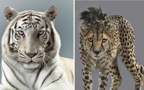 Nhiếp ảnh gia có 'siêu năng lực': Bắt cả bầy hổ báo ngoan ngoãn tạo dáng để chụp ảnh, mắt nhìn thẳng ống kính, thần thái cực đỉnh