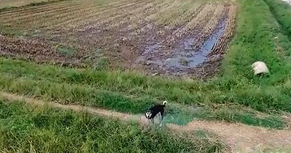 Trêu chó thời 4.0: Thanh niên dùng flycam dọa chó chạy khắp cánh đồng cho bõ những tháng ngày bị bắt nạt